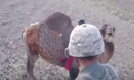 ماذا فعل جمل أفغاني بجندي أمريكي
