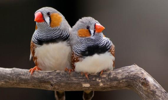 عصافير الزيبرا