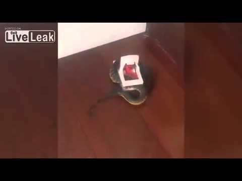 بالفيديو: نصب مصيدة للفئران فاصطاد أفعى ضخمة