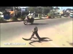 """بالفيديو.. معركة حامية الوطيس بين """"سحليتين"""" في أحد الشوارع المكتظة"""