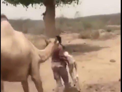 فيديو: جنود سعوديون ينقذون ناقة من قذائف الحوثيين بعد موت صغيرها