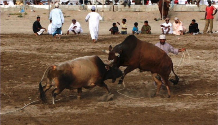 زكريا المحرمي يثير الجدل بإنتقاد حظر مصارعة الثيران